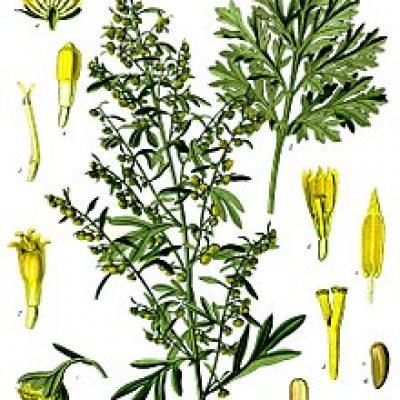 220px-Artemisia_absinthium_-_Köhler–s_Medizinal-Pflanzen-164